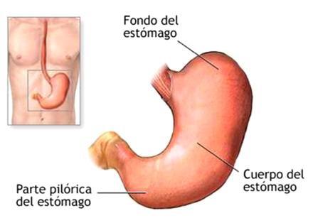 El estómago...más que un saco - Escuela Internacional Naturopatia M.R.A.